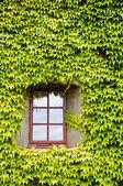 常春藤覆盖墙体和窗户 — 图库照片