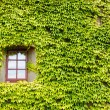 Stock Photo: Ivy covered wall and window