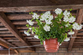 Petunia hanging pot — Stockfoto