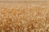 Ears ripe wheat — Stock Photo