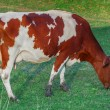 Grazing Cow — Stock Photo #12150933