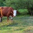 Grazing Cow — Stock Photo