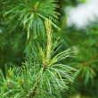 Pine branch — Stock Photo #11393189