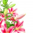 Pink lilies — Stock Photo #11393202