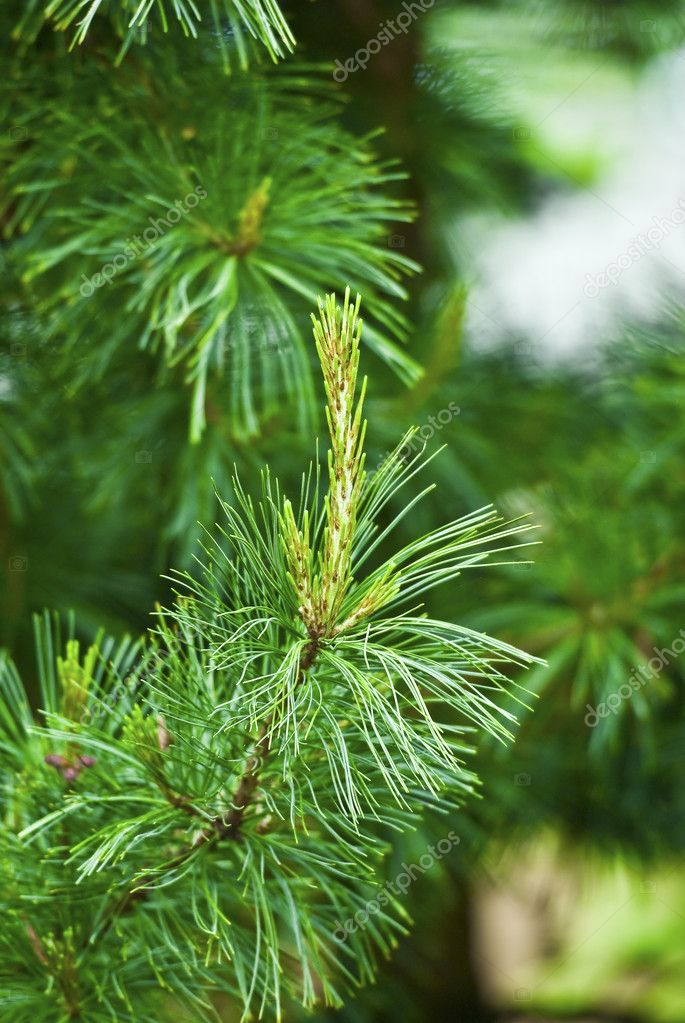 Close up of a pine branch — Stock Photo #11393189