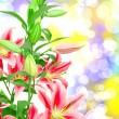 Pink lilies close up — Stock Photo