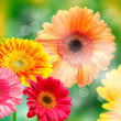 Gerber flowers — Stock Photo