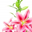 Pink lilies — Stock Photo #11799828
