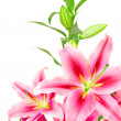 Royalty-Free Stock Photo: Pink lilies