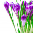 Purple crocus - Stock Photo