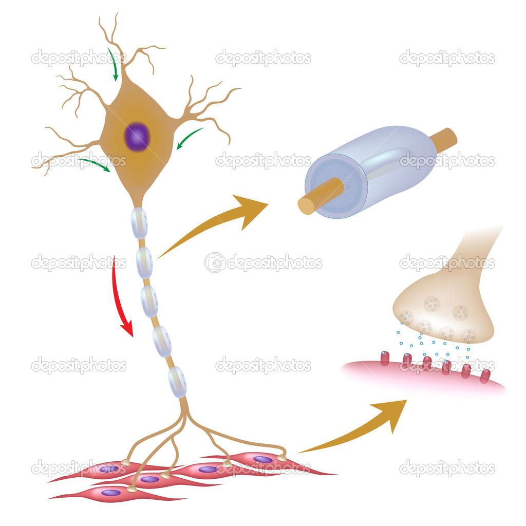 Motor neuron with myelin and synapse, eps10  Stock Vector #12034776