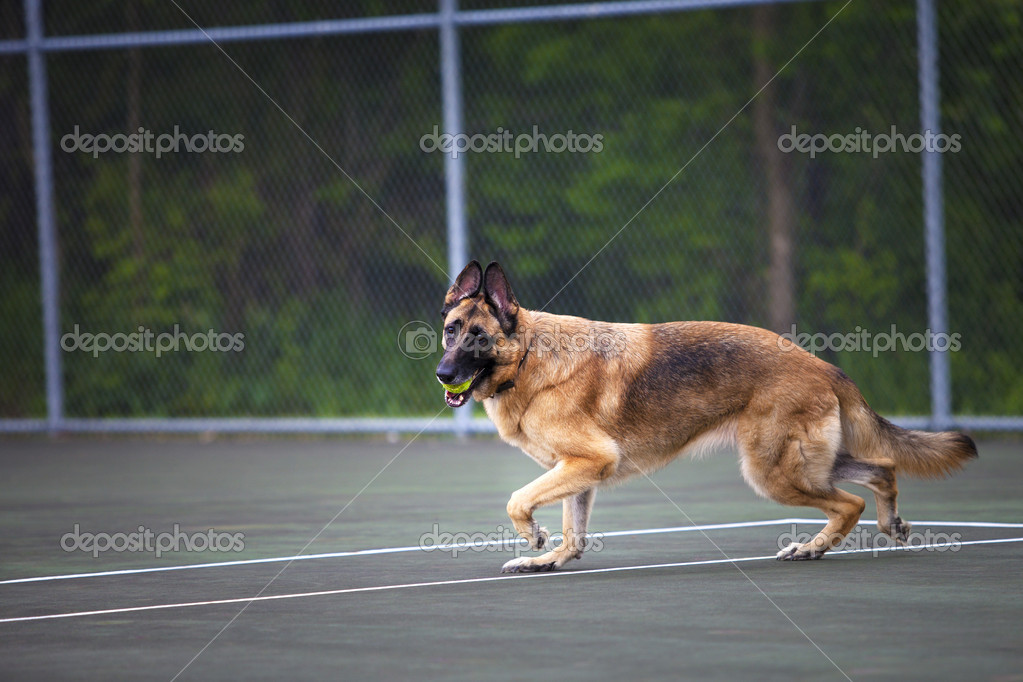 Female German Shepherd Dog plays catch with a tennis ball on a tennis court — Stock Photo #10970827