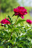 Scarlet flower — Stock Photo