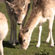 Grazing Deer — Stock Photo #11618140