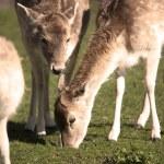 Grazing Deer — Stock Photo