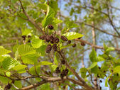 Branch of an alder black with young leaves and old soplodiya (Alnus glutinosa) — Stock Photo