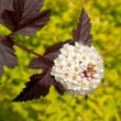Inflorescence of a puzyreplodnik of kalinolistny  Physocarpus opulifolius , Diabolo grade  or Purpureus - Stock Photo