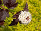 Inflorescence of a puzyreplodnik of kalinolistny Physocarpus opulifolius , Diabolo grade or Purpureus — Stock Photo