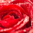 Deep red rose frower background with water drops, shallow DOF — Stock Photo