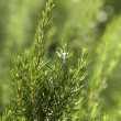 Rosemary aromatic culinary herb in nature — Stock Photo #12347713