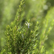Rosemary aromatic culinary herb in nature — Stock Photo