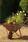 Decorative garden whellbarrow with culinary herbs — Stock Photo