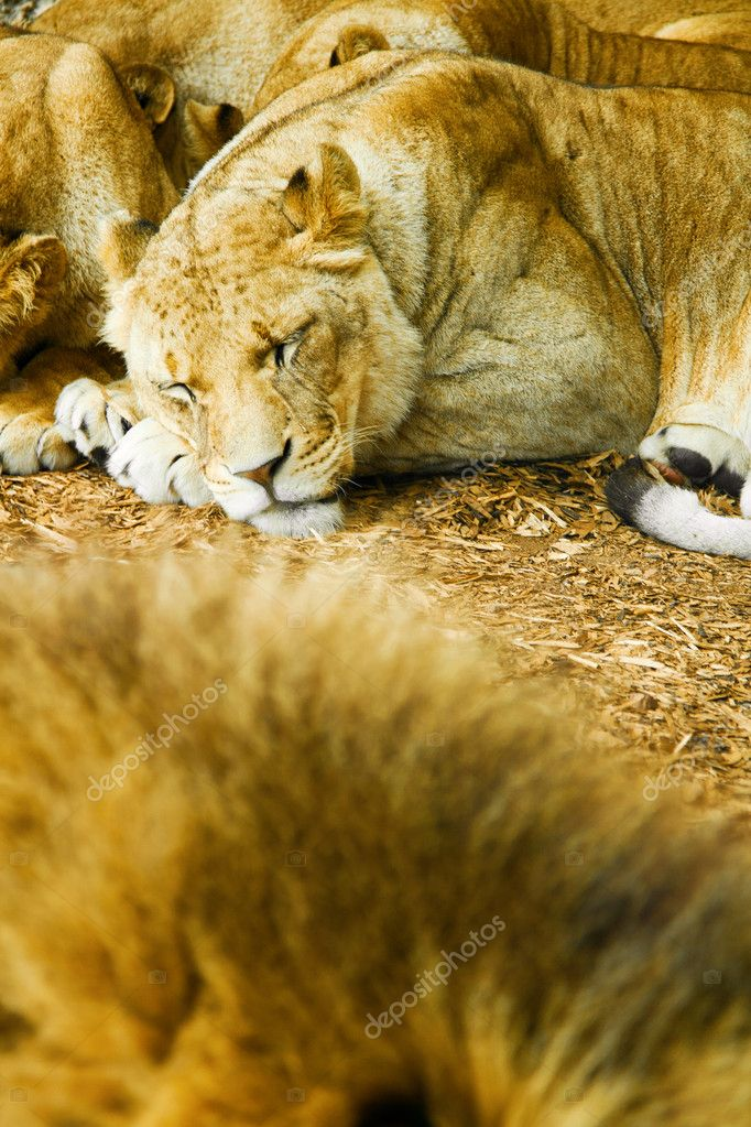 Sleeping african lioness, shallow dof — Stock Photo #12347702