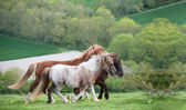 Galloping farm horses in rural landscape in Spring — Stock Photo