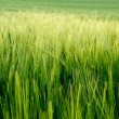 Beautiful field of fresh growth agrucultiral wheat — Stock Photo