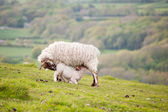 Spring lamb and ewe in rural farming landscape — Stock Photo
