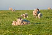 Frühjahr lämmer und schafe im ländlichen landschaft bei sonnenaufgang — Stockfoto