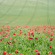 Summer landscape of wild poppies in agricultural field - Stockfoto