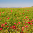 Poppy field landscape in English countryside in Summer — Stock Photo