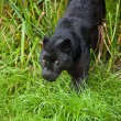 Black leopard Panthera Pardus prowling through long grass - Zdjęcie stockowe
