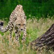 Cheetah Acinonyx Jubatus Big Cat — Stock Photo