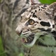 Clouded leopard Neofelis Nebulova big cat portrait - Стоковая фотография
