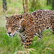 Stunning jaguar Panthera Onca prowling through long grass - Zdjęcie stockowe