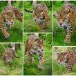 Compilation of six images of Jaguar Panthera Onca big cat - Zdjęcie stockowe