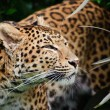 Beautiful leopard Panthera Pardus big cat amongst foliage - Zdjęcie stockowe