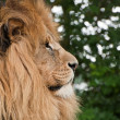 Portrait of King of the Jungle Lion Panthera Leo big cat - Zdjęcie stockowe