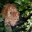 Beautiful leopard Panthera Pardus big cat amongst foliage — Stock Photo