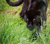 Black jaguar Panthera Onca prowling thorugh long grass — Stock Photo