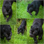 Compilation of five images of Black Leopard Panthera Pardus — Stock Photo