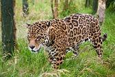 Stunning jaguar Panthera Onca prowling through long grass — Stock Photo