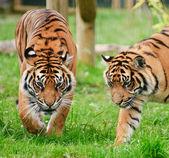Portrait of Sumatran Tigers Panthera Tigris Sumatrae big cat — Stock Photo