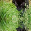 Black jaguar Panthera Onca prowling through long grass reflected — Stock Photo