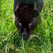 Black jaguar Panthera Onca prowling thorugh long grass - Stock Photo