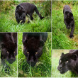 Compilation of five image of Black Jaguar Panthera Onca - Stock Photo
