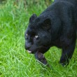 Black leopard Panthera Pardus prowling through long grass - Stock Photo