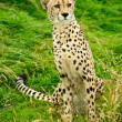 Cheetah Acinonyx Jubatus Big Cat - Stock Photo